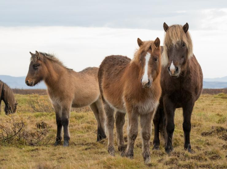 Flow : Icelandic Horses