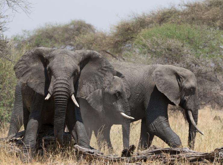 Flow : Elephants - Tarangire NP